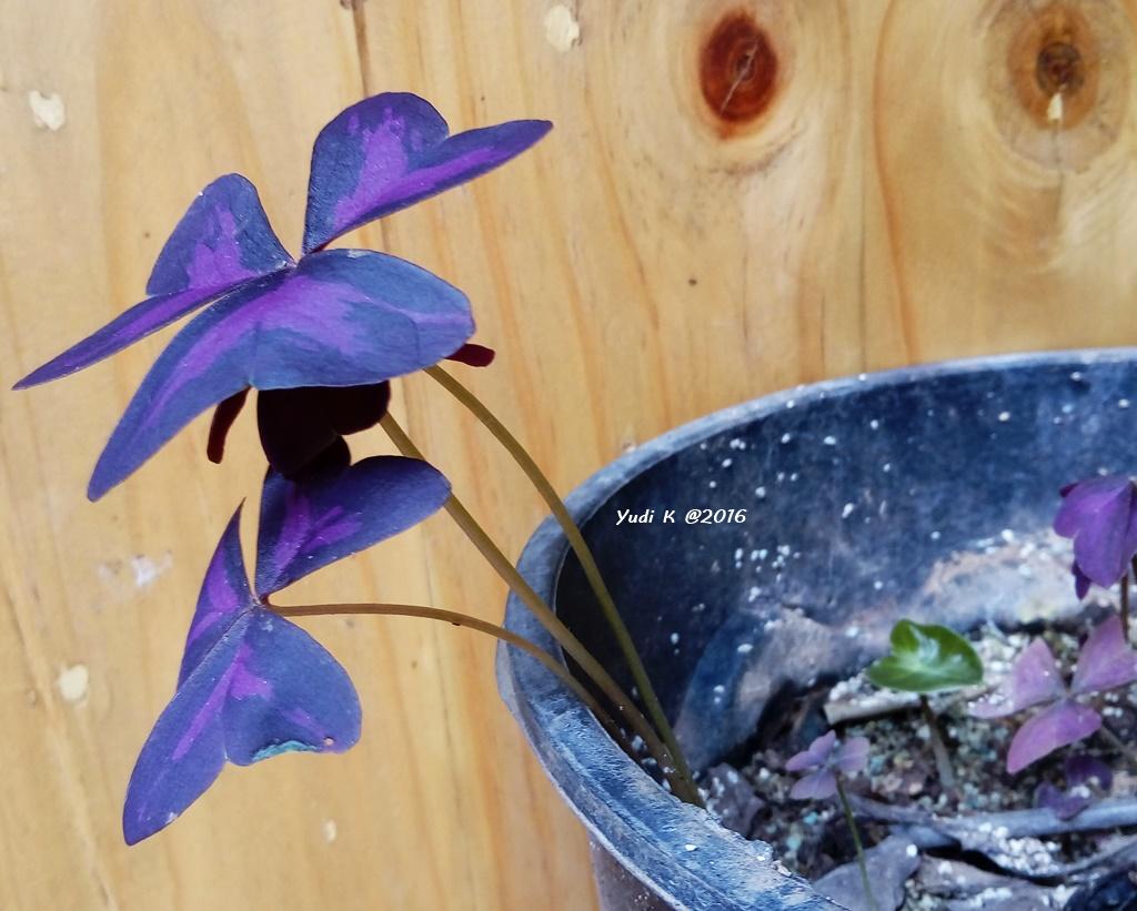 Bunga Kupu Kupu Purple Shamrock