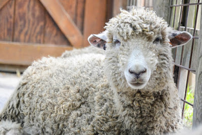 Cotswold sheep Origin, Facts, Uses, Height, Wool type