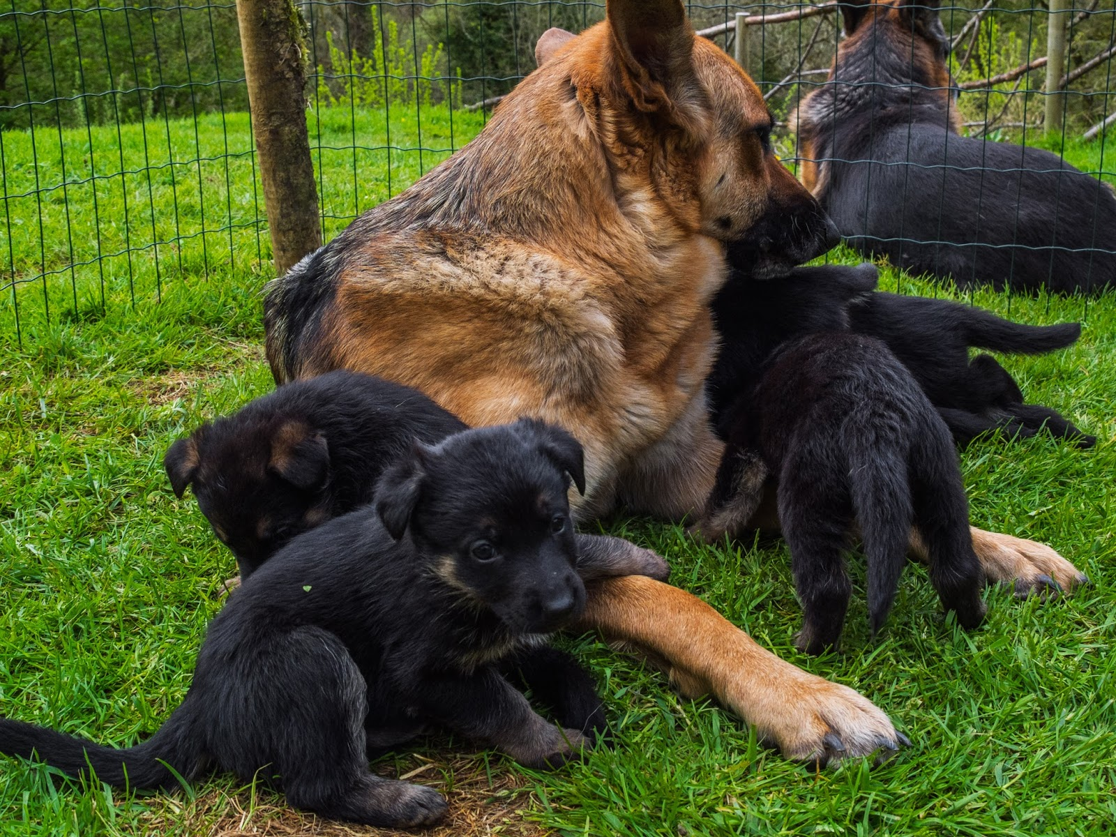 German Shepherd mom and dad with some of the month old litter.