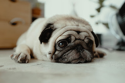 A black and fawn pug lies on the ground staring off to the side