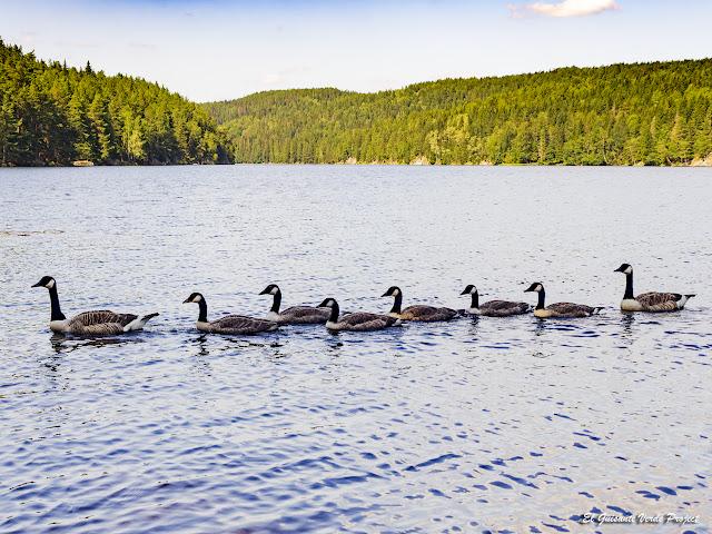Gansos canadienses en Nøklevann - Noruega, por El Guisante Verde Project