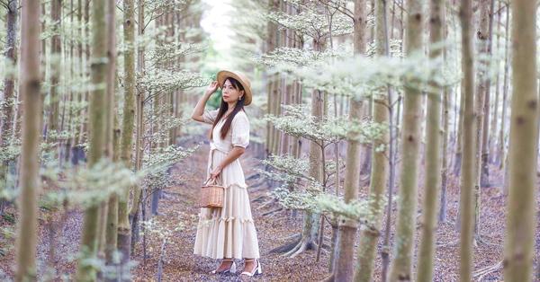 彰化田尾彩色小葉欖仁樹田,600棵雨傘樹森林形成隧道好夢幻