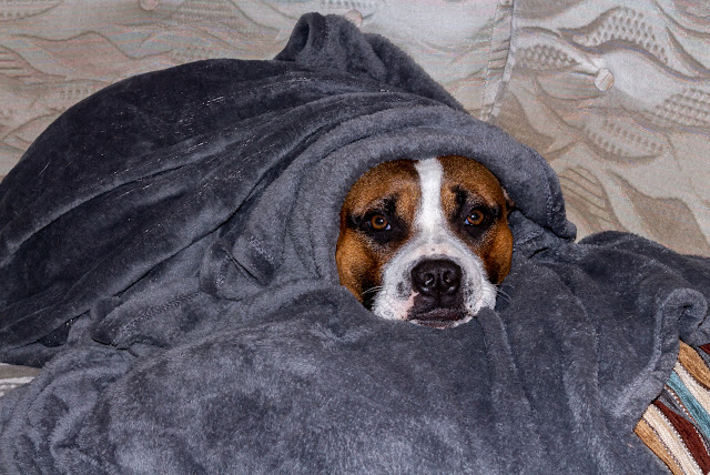 Photo of Ruby all tucked up in a blanket and feeling sorry for herself after being ill in the night