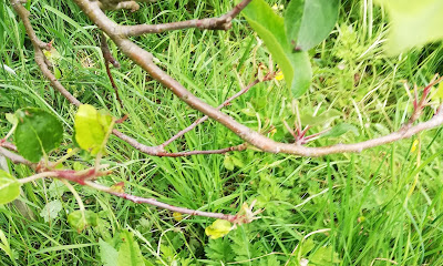 New growth on apple tree damaged by sheep