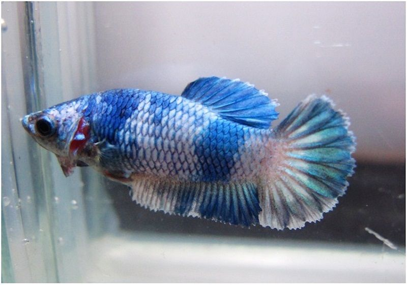 Image History Female Betta Fish