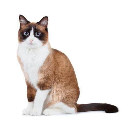 قطط السنو شو :   Snowshoe Cat