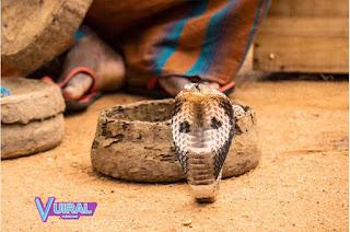 Contoh Hewan Reptil Ular Kobra