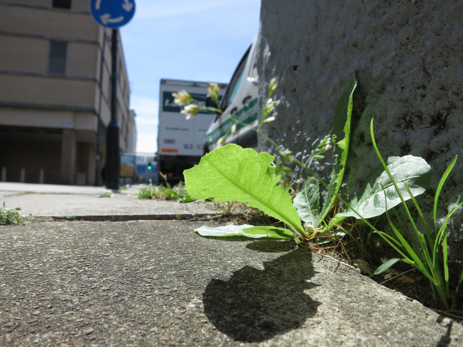 Dandelion (?) at top of pedestrian underpass with traffic in view