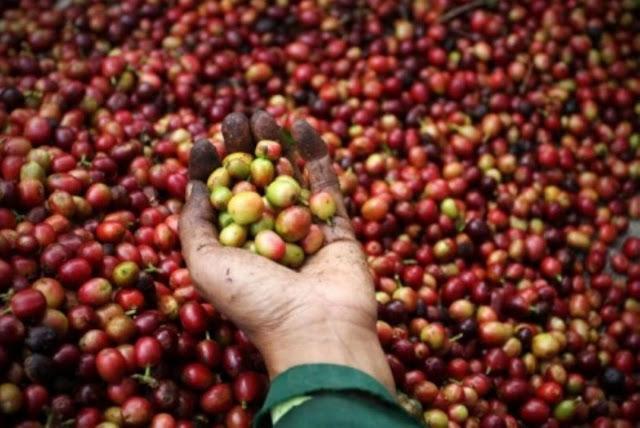 Cà phê Robusta Di Linh