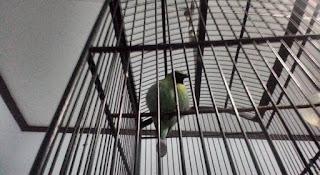 Cara Cepat Menurunkan Birahi Burung Cucak ijo