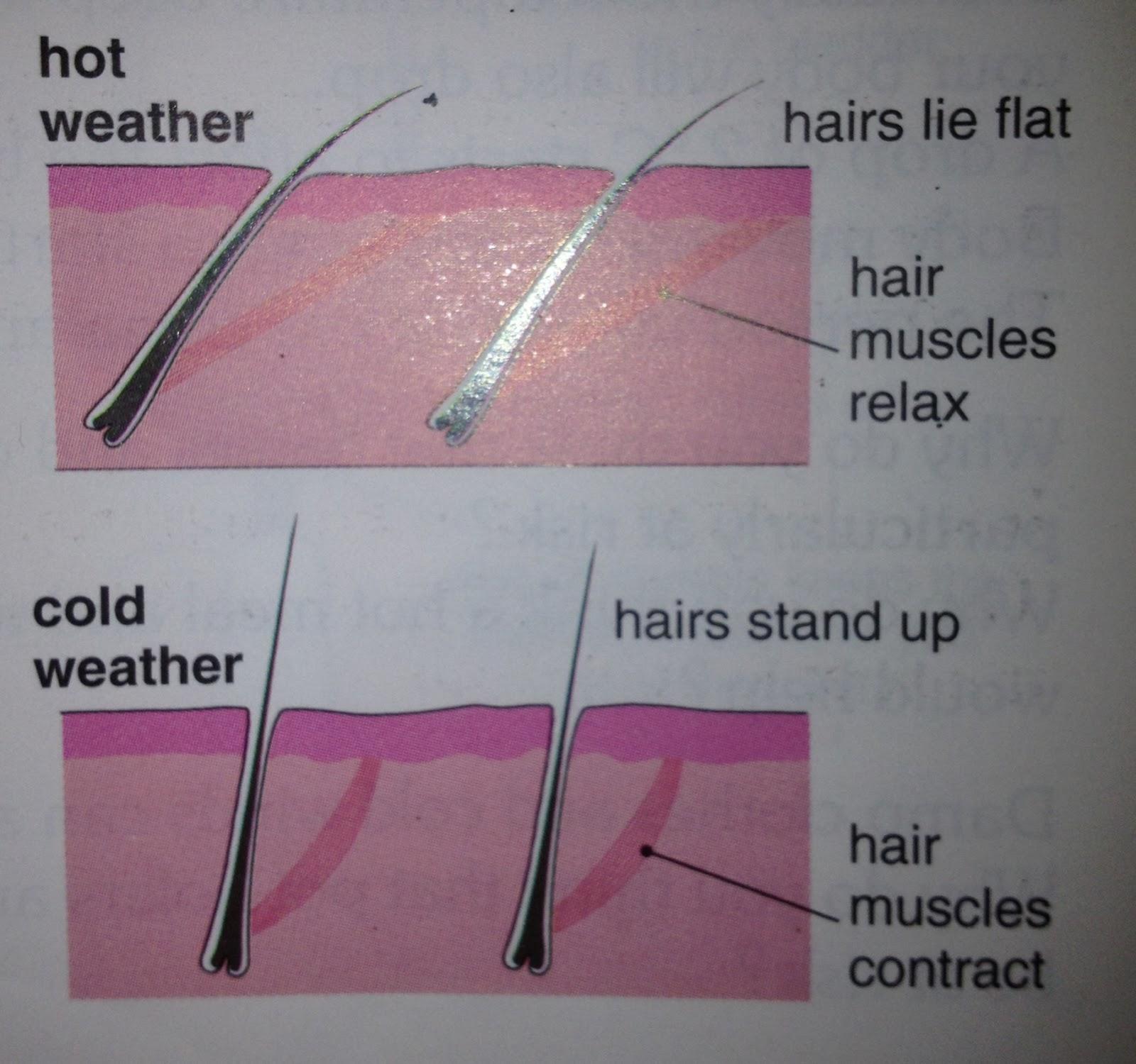 Charlotte's Biology Blog: 2.88 - Skin temperature regulation