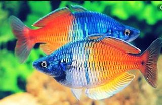 Ikan hias Rainbow
