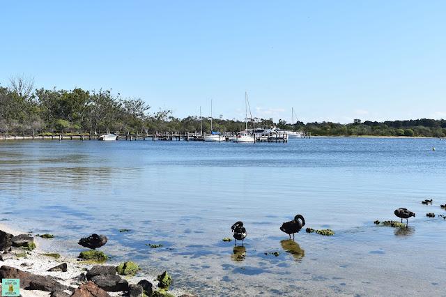 Cisnes negros en Raymond Island, Australia