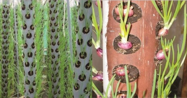 Teknologi Hidroponik Dalam Budidaya Bawang Merah