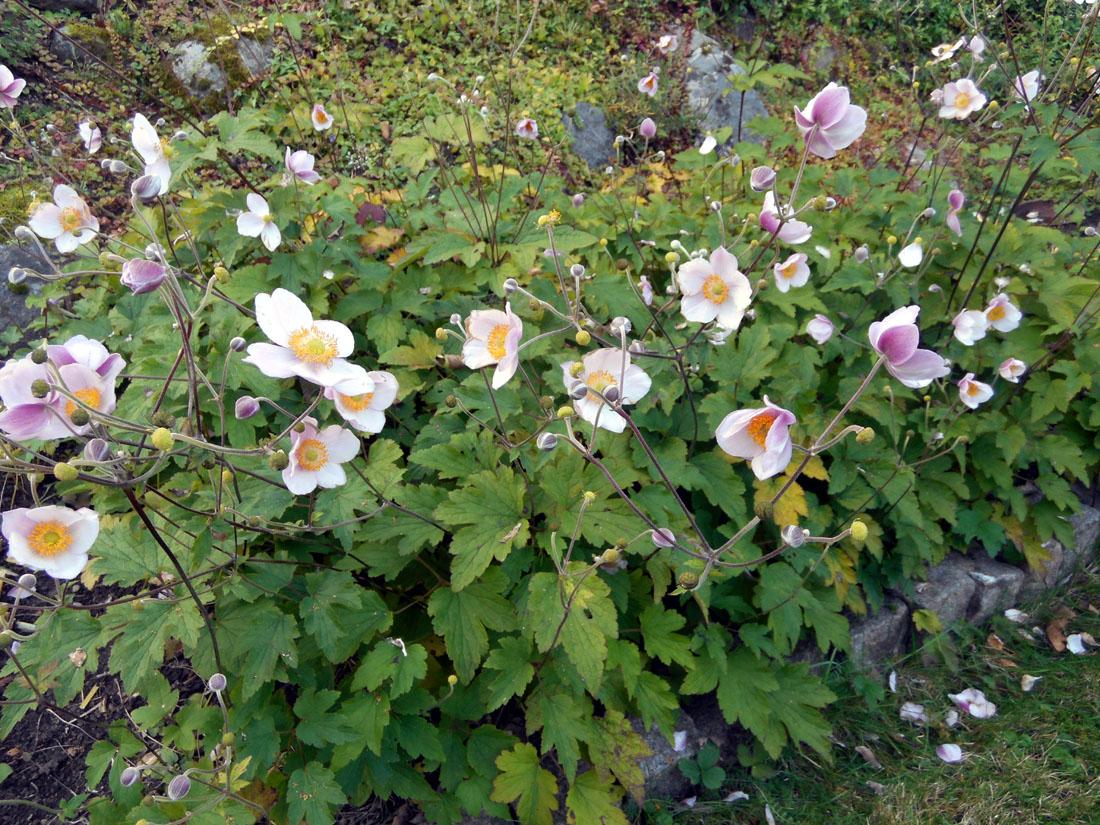 Höstanemon som blommar