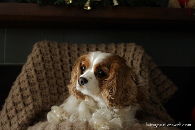 Avalie, our Blenheim Cavalier King Charles Spaniel