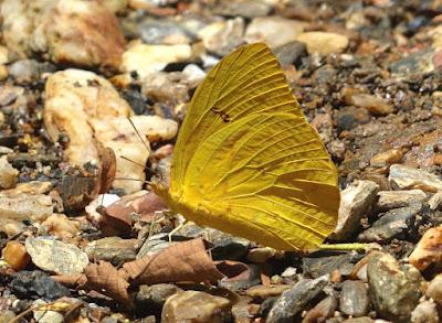 Mariposa azufrada grande (Phoebis philea)