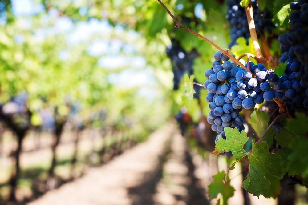 vino_grožđe_vinarija_kalifornija
