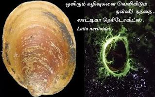Latia neritoides