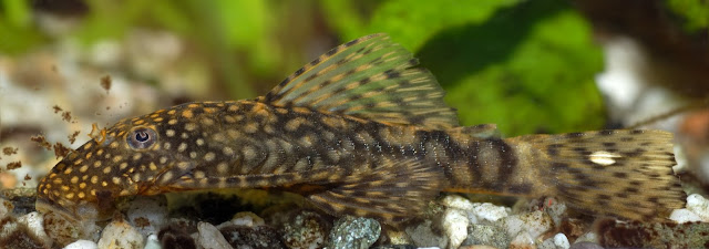 This image shows a female freshwater fish of the species Ancistrus dolichopterus
