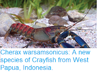 http://sciencythoughts.blogspot.co.uk/2017/03/cherax-warsamsonicus-new-species-of.html