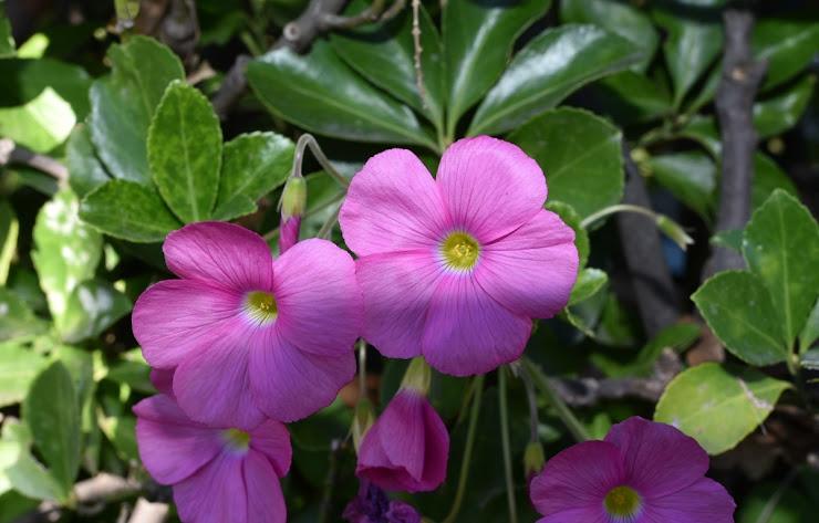ハナカタバミ (Oxalis bowiei)
