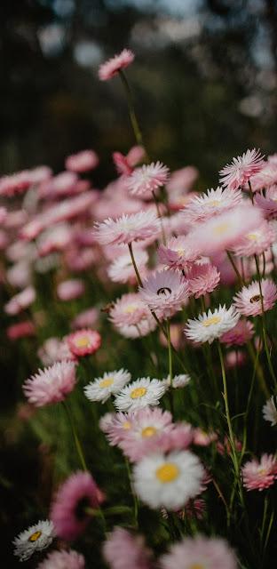 Aesthetic Daisy Flower