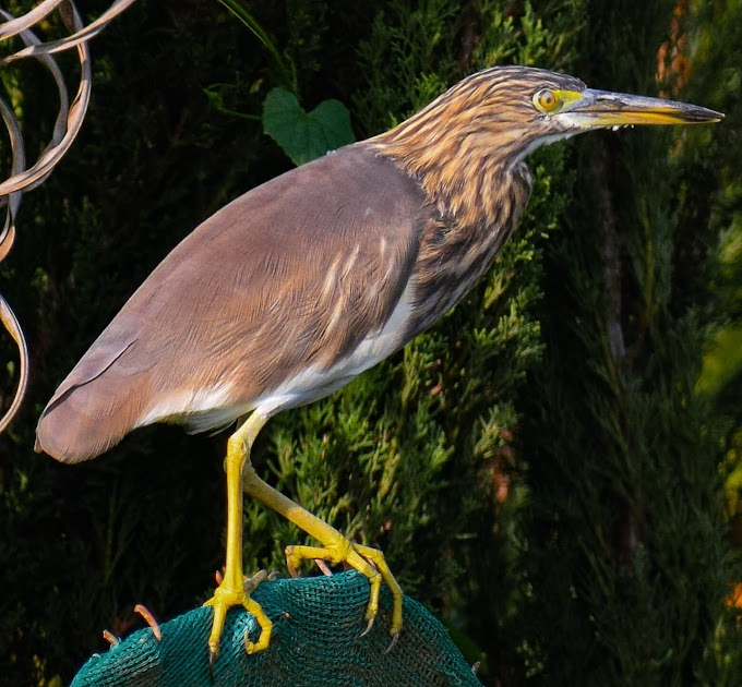 Indian pond heron at Karnataka