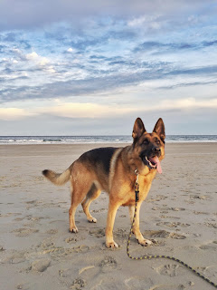 German Shepherd Drinking Lots Of Water And Frothing At Mouth
