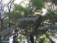 Silver tree fern top - Christchurch Botanic Gardens, New Zealand
