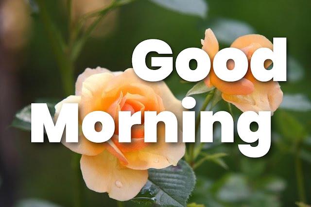 good morning rose images download