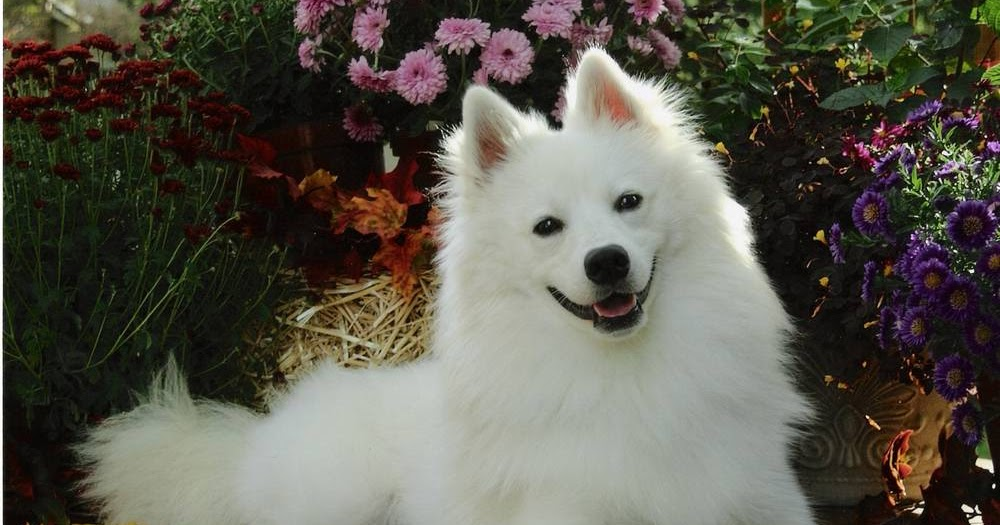 Photography Wallpaper Hd 1080p American Eskimo Dog Hd Wallpapers High Definition