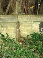 Tree rooting in concrete - Old Pali Road, Oahu, HI