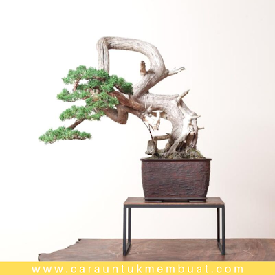 Bonsai Juniperus Chinensis Shimpaku 3