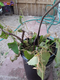 propagating Wild Muscadine Grape Vines from cuttings