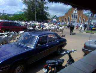 herd-of-cattle-invades-church-in-benue