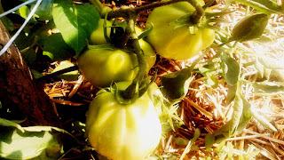 brazde organice cu plante de tomate