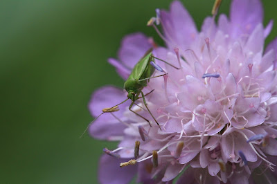 Green insect on Succisa – scabious