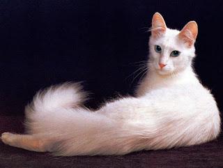 Gambar Kucing Anggora Lucu dan Imut 100022