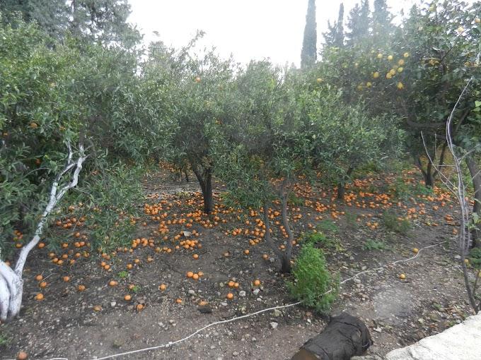Mandarine Preserve