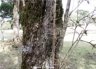 Sebastiania commersoniana tronco