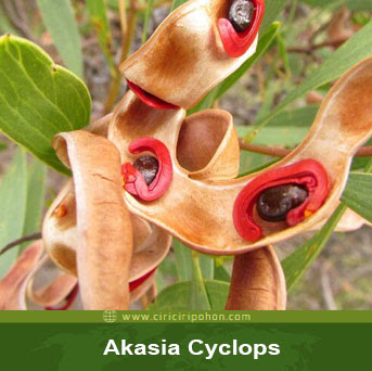 ciri ciri pohon akasia cyclops