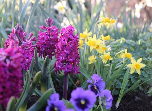 Hyacinths bloom