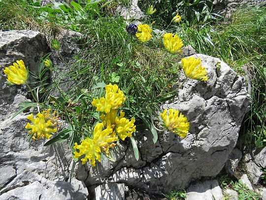 Przelot alpejski (Anthyllis alpestris).