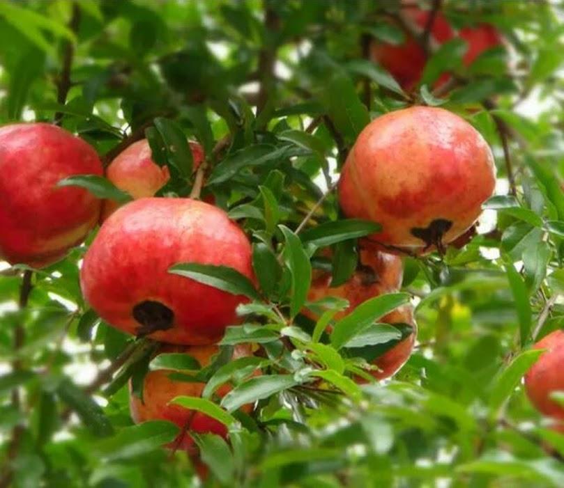 Delima Merah Pomegranate Kota Administrasi Jakarta Timur