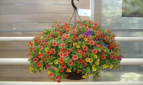 Sobno Cvijeće Gladiole Uzgoj I Nega