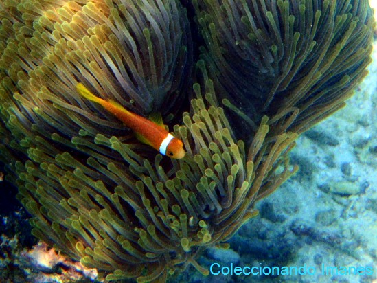 nemo pez payaso naranja linea blanca