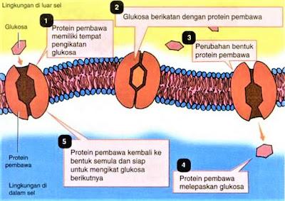 Difusi dipermudah dengan protein pembawa