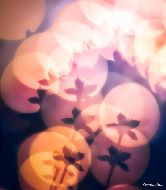 Lakankukkien kesäyö
