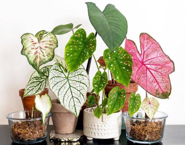 caladium, keladi, tanaman hias, bunga hias